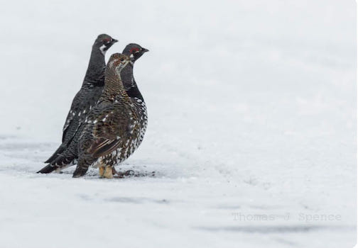 Spruce grouse finding gravel in the road. Thomas Spence took this three years ago, but it's perfect for this week, too.