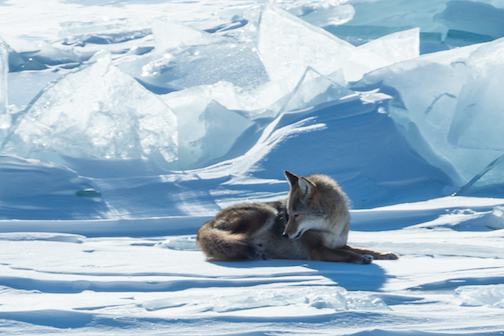 A local coyote enjoying a sunny day on Lake Superior ice by Ellen Stubbs.