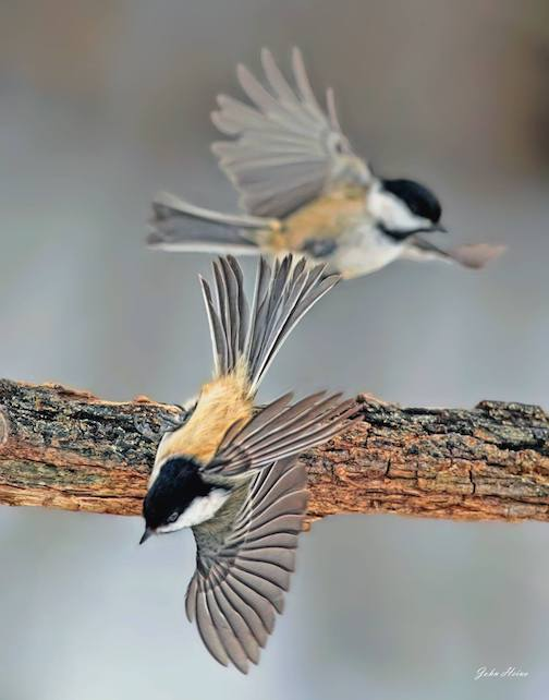 Chickadee ballet by John Heino.