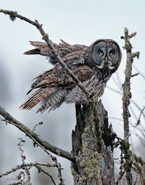 Where's lunch? Great Gray Owl on the prowl by John Heino.