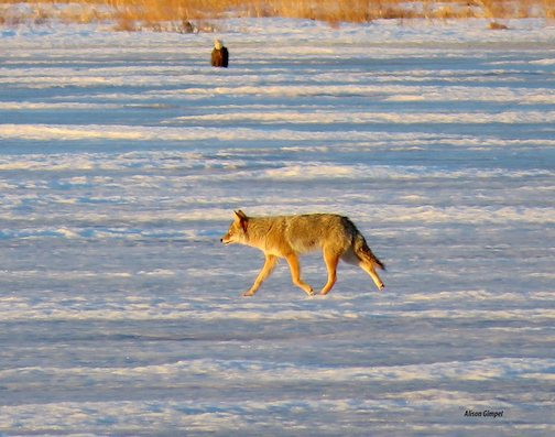 A lucky catch--a coyote and a Bald Eagle on the ice by Allison Gimpel.