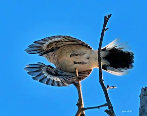 Northern Shrike at Gooseberry Falls by John Heino.