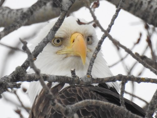 """He's back!"" Sarah Hamilton took this photo of a resident eagle who regularly stops by Trail Center for a tasty snack."