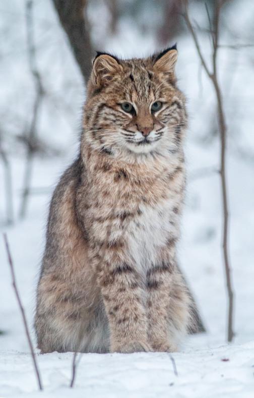 A bobcat cutie by Sparky Stensaas.