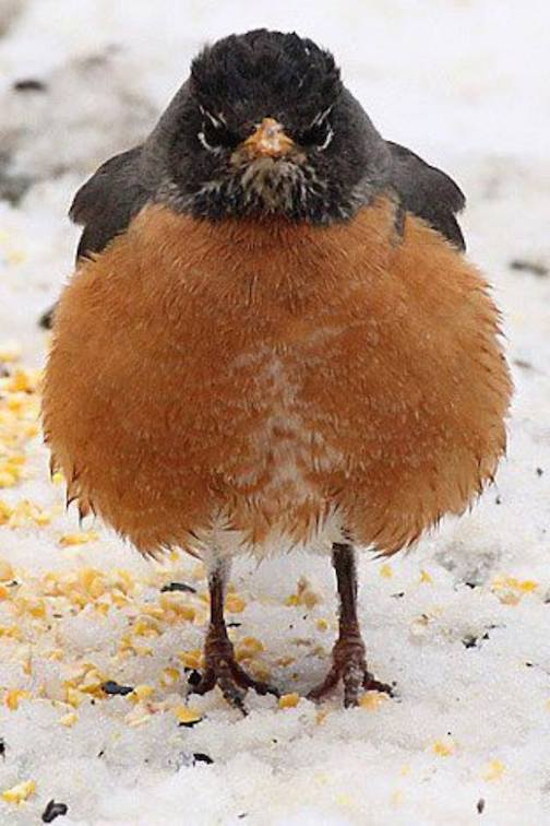 Angry Robin. (Unable to find an attribution, but worth a look any way.)