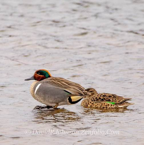 A green-winged teal pair arrived in the Grand Marais Harbor this week.
