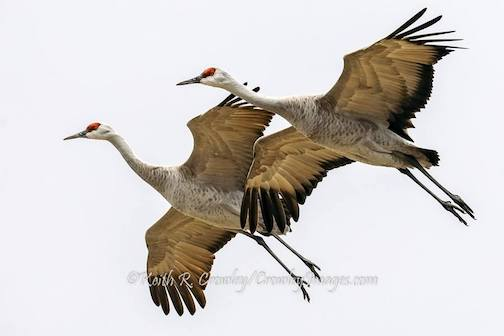 Sandhill Cranes on the Platte River, Neb. by Keith Crowley.