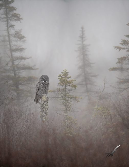 Great Gray in the mist by Matt Herberg.