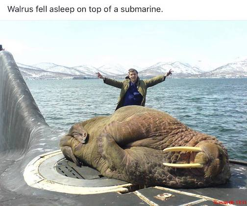 A walrus fell asleep on the hatch of a submarine, forcing the crew to use an emergency hatch to get out. Photo courtesy of The Planet Today.