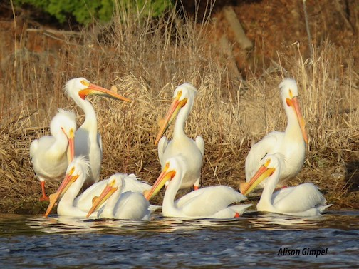 White pelicans, hanging out just outside of Duluth by Alison Gimpel.