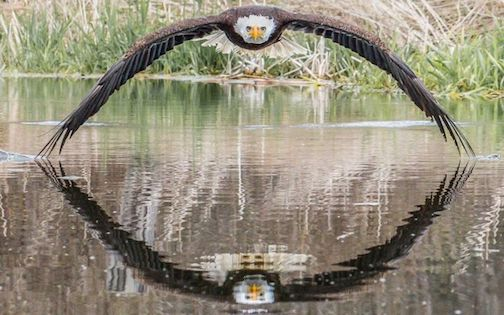 Bald Eagle by Steve Biro of the Canadian Raptor Conservancy.