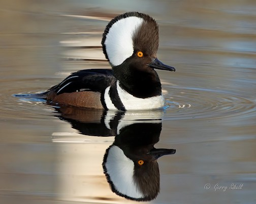 Male Hooded Merganser by Gerry Sibell.