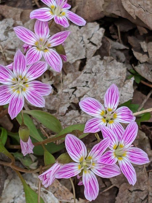 Spring Beauties by Ilena Berg.