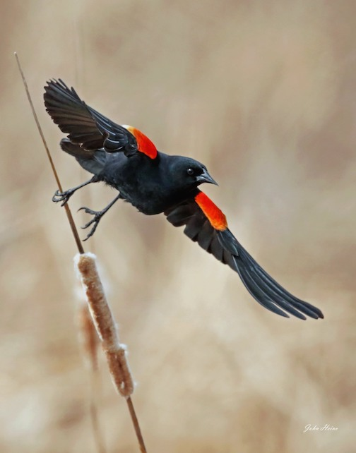 """Blackbird Fly"" by John Heino."