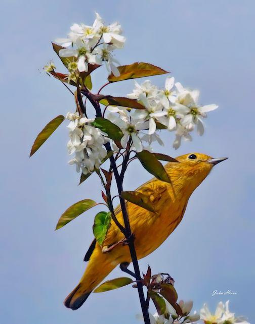 Yellow warbler, Salon Springs by John Heino.