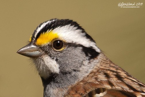 White-throated Sparrow by Jon Wood.