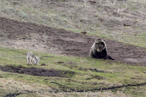 A coyote teases a young grizzly in Yellowstone by Keith Crowley.