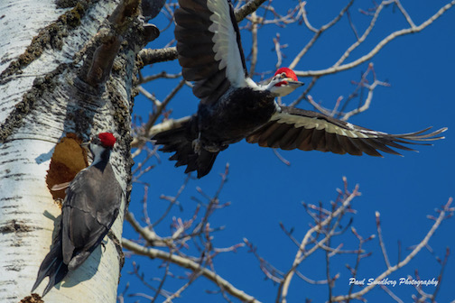 Pileated Woodpecker family by Paul Sundberg.