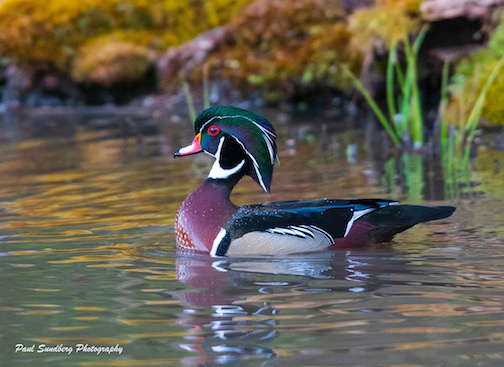 Wood duck by Paul Sundberg.