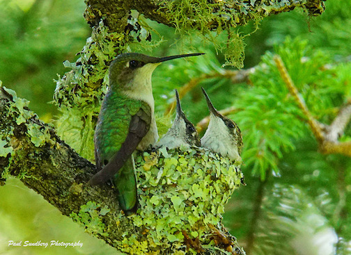 Hummingbird and young by Paul Sundberg.