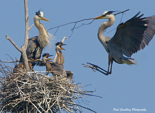 Great Blue Heron and its mate and nestlings by Paul Sundberg.