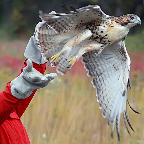 Learn all about raptors in Minnesota at North House this weekend. Evening presentation on at 7 p.m. Saturday night, and live raptor event at 10 a.m. Sunday morning