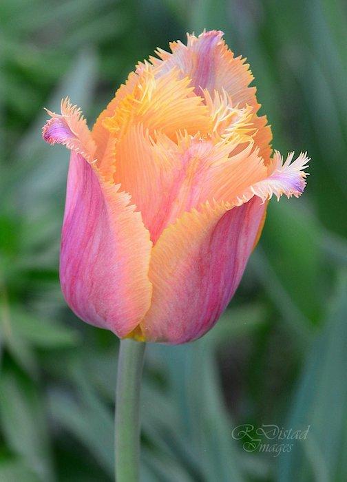 Rainbow Sherbet tulip by Roxanne Distad.