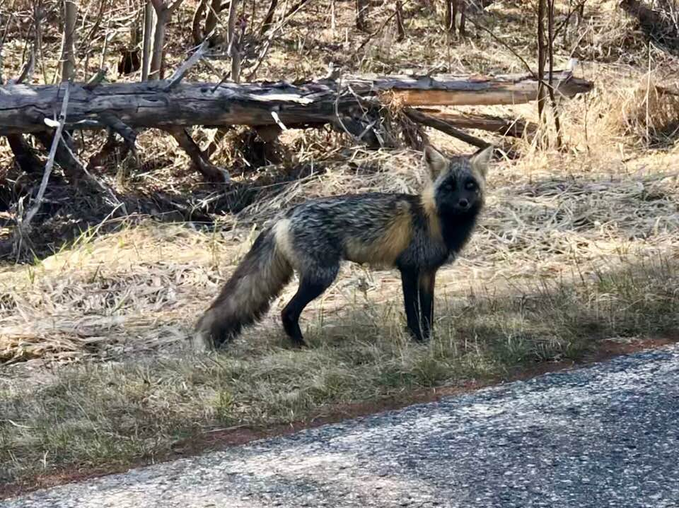 Another unusual sighting: A Cross Fox. This fellow was out for a stroll on the Gunflint Trail recently. Photo by Thomas McAleer.