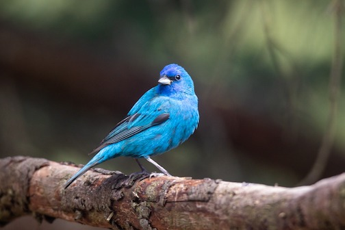 An indigo bunting stopped by Thomas Spence's yard a few days ago.