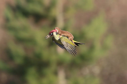 "Weasel ""riding"" a woodpecker by Martin LeMay. LeMay said that the woodpecker won, landing and throwing off the weasel."
