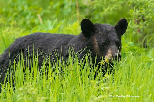 A Black Bear and dandelions by Paul Sundberg.