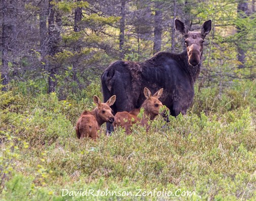 Little ones in the spruce bog with Mom by David Johnson.