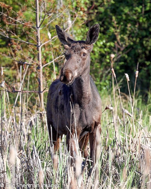 Young moose on the Gunflint Trail by Eric Sherman.