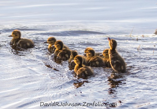 david johnson ducklings