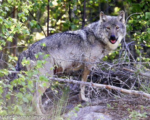 Wolf on the Gunflint Trail by Eric Sherman.