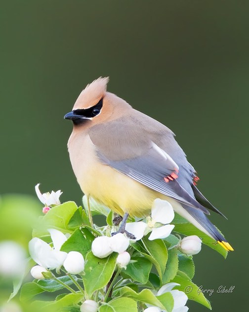 Cedar Waxwing... a couple of weeks late, but here at last by Gerry Sibell.