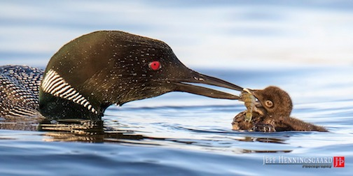 Dad bringing an oversize meal to a young chick by Jeff Henningsgaard.