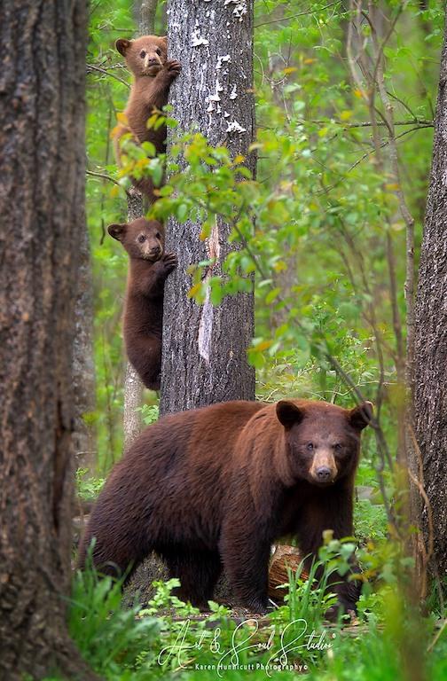 Mama bear and cubs by Karen Hunnicutt.