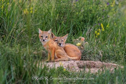 Cute fox kits by Keith Crowley.