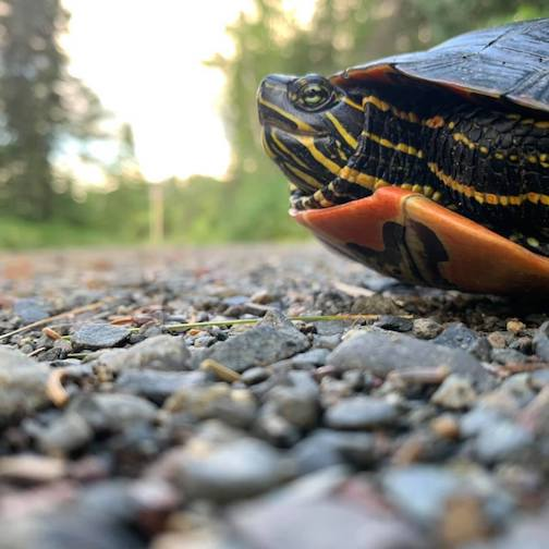 Helping a turtle cross the road by Kristofer Bowman.