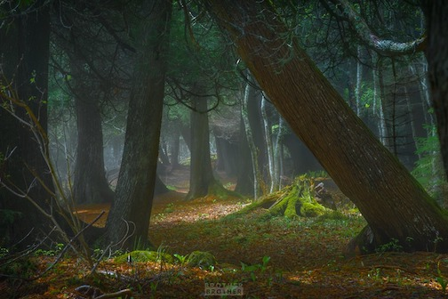 Never miss an opportunity to walk through a cedar forest on a foggy day by Mick Rollins.