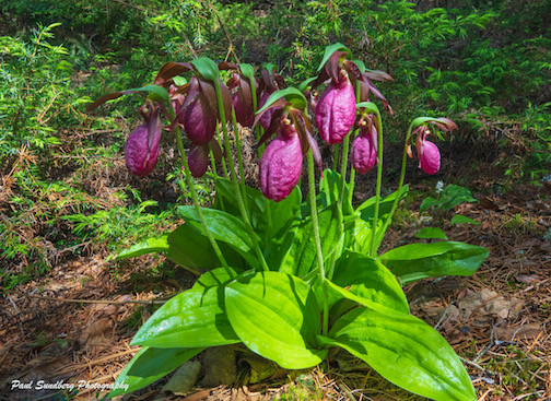 Pink Ladyslippers by Paul Sundberg.