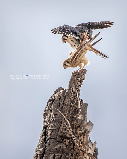 American kestrels mating in Yellowstone by Root River Photography.