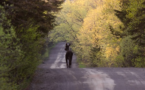 A little bull moose taking an evening stroll by Thomas Spence.