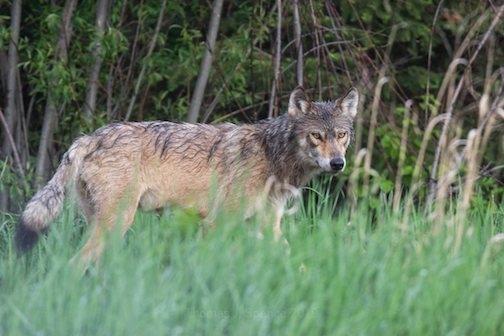 Wolf in tall grass by Thomas Spence.