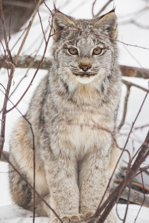 Canada lynx by Thomas Spence.