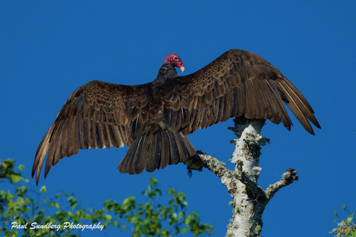 Turkey vulture landing by Paul Sundberg.