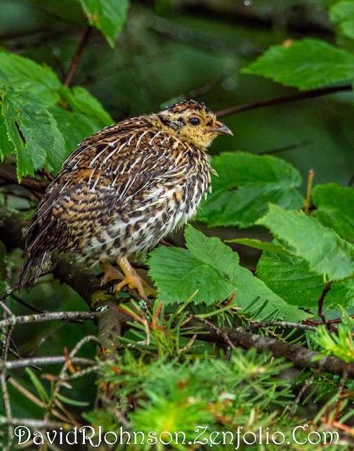 A damp little spruce grouse by David Johnson.
