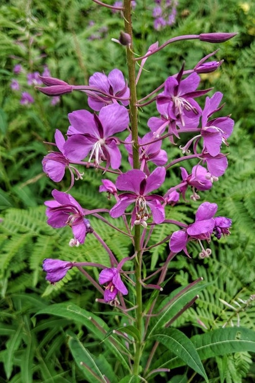 Fall is here--the fireweed is blooming by Don Davison.