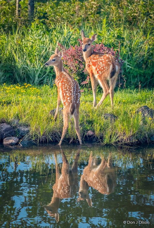 A doe brings in her twins for a drink at our pond by Donald Jay Olson.